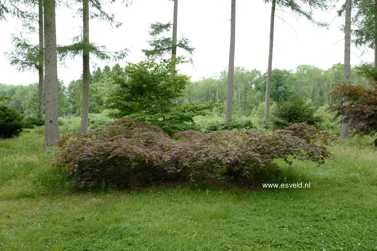 Acer palmatum 'Beni-gasa'