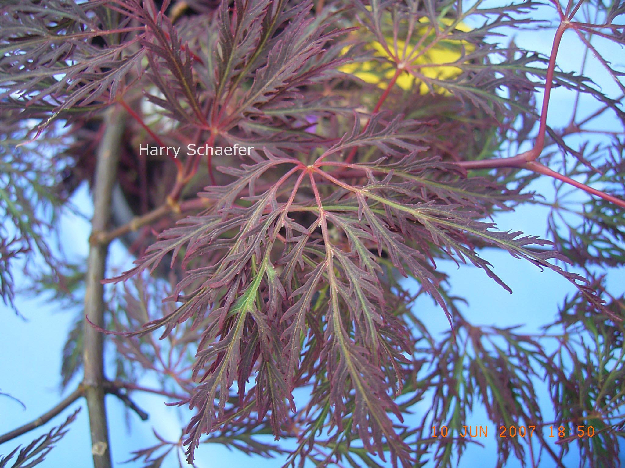 Acer palmatum 'Beni-kumo-no-su'
