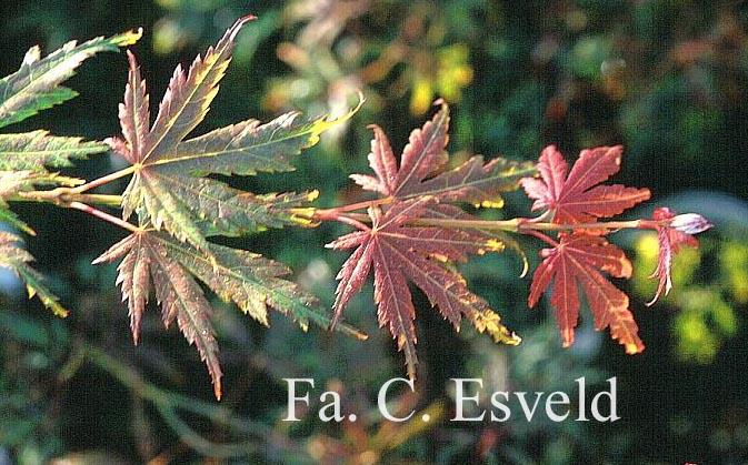 Acer palmatum 'Beni-musume'