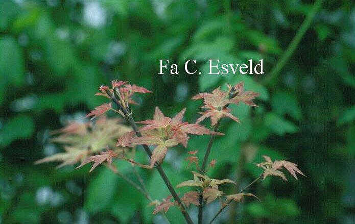 Acer palmatum 'Beni-zuru'