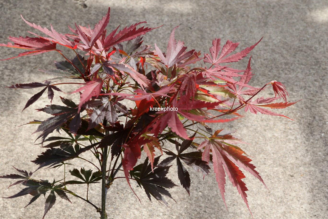 Acer palmatum 'Bujo-ji'