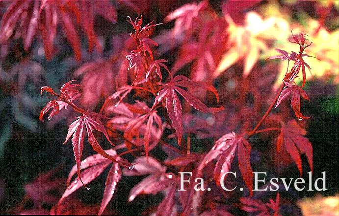 Acer palmatum 'Carlis Corner Broom'