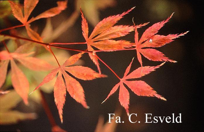 Acer palmatum 'Chokei-ji'