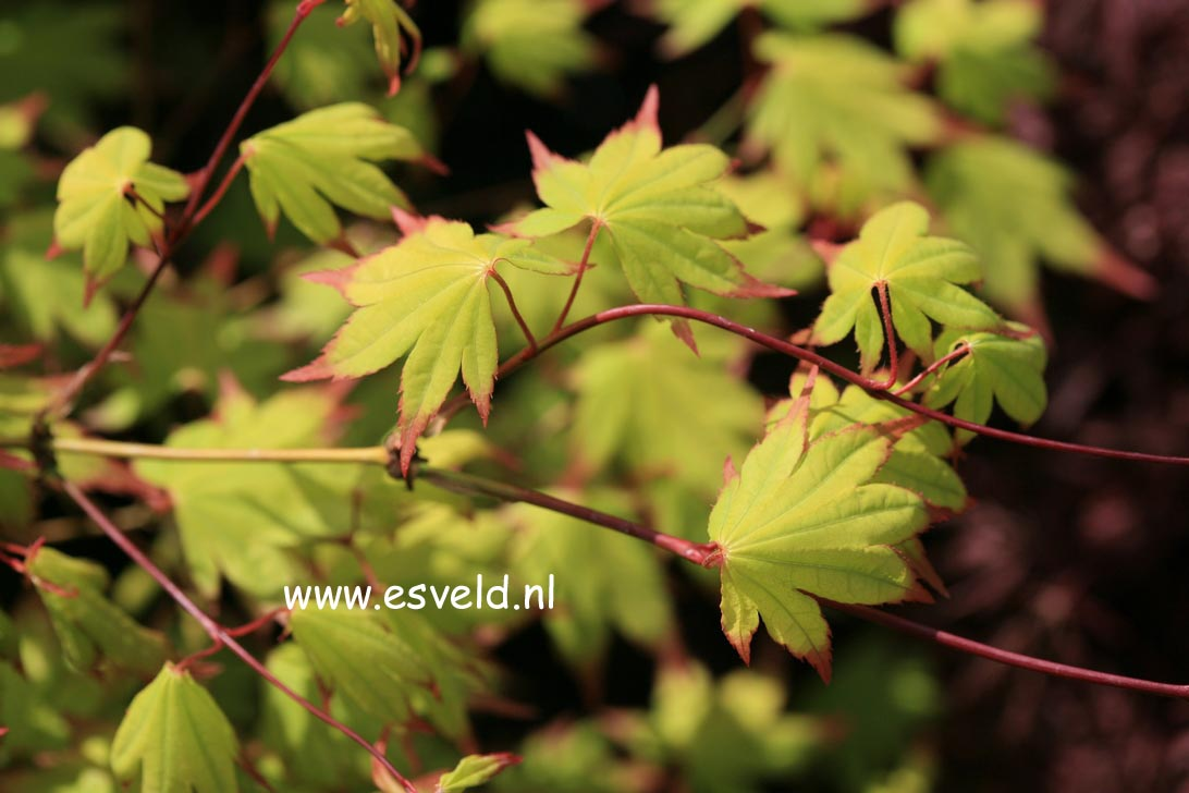 Acer palmatum 'Chūgū-ji'