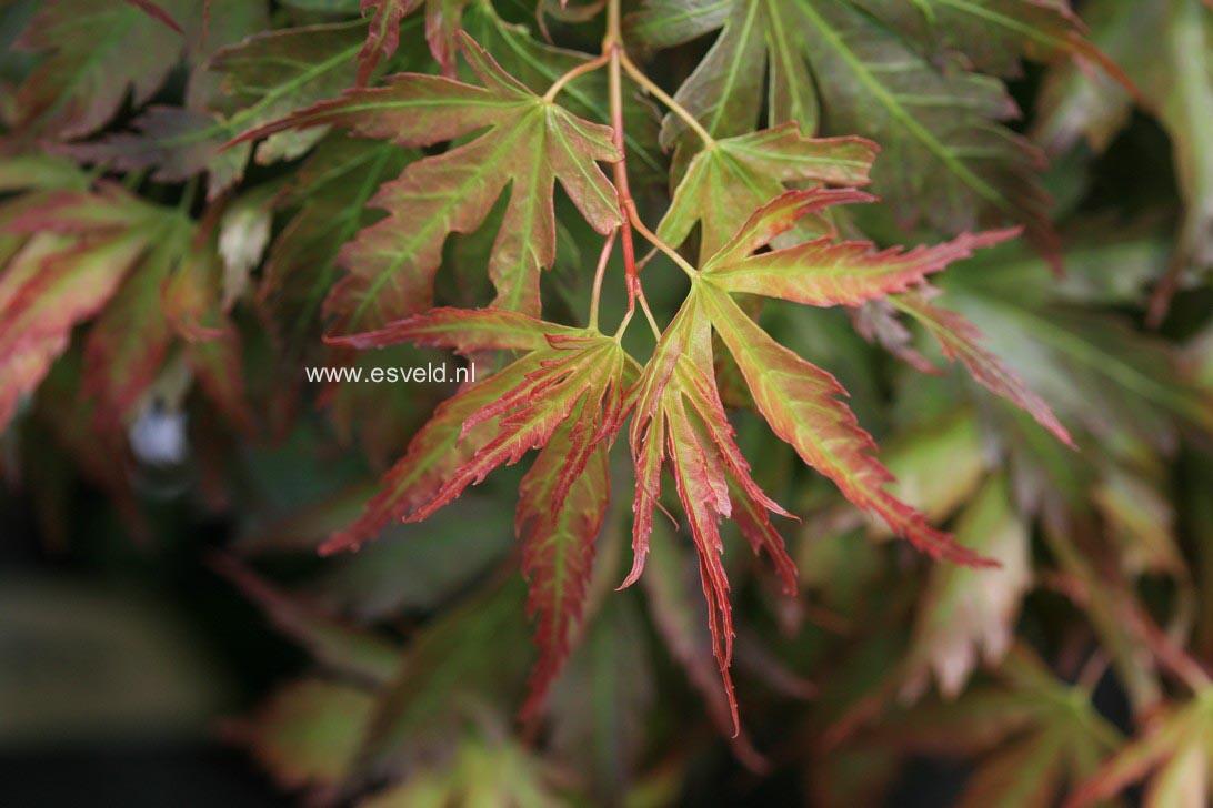 Acer palmatum 'Cynthia's Crown Jewel'