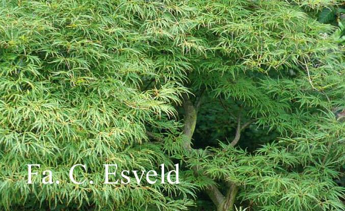 Acer palmatum 'Demi-Sec'