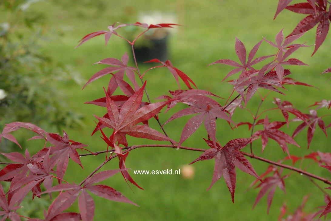 Acer palmatum 'Emperor I'