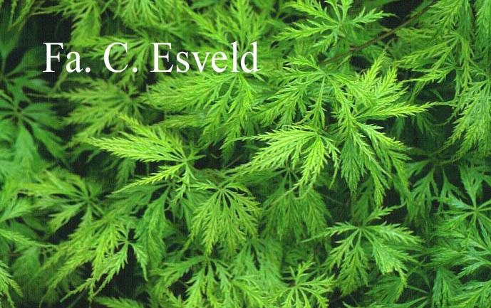Acer palmatum 'Filigree'