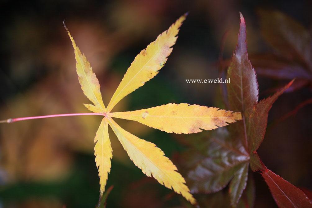 Acer palmatum 'Fukui'