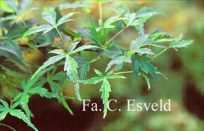 Acer palmatum 'Garyū'