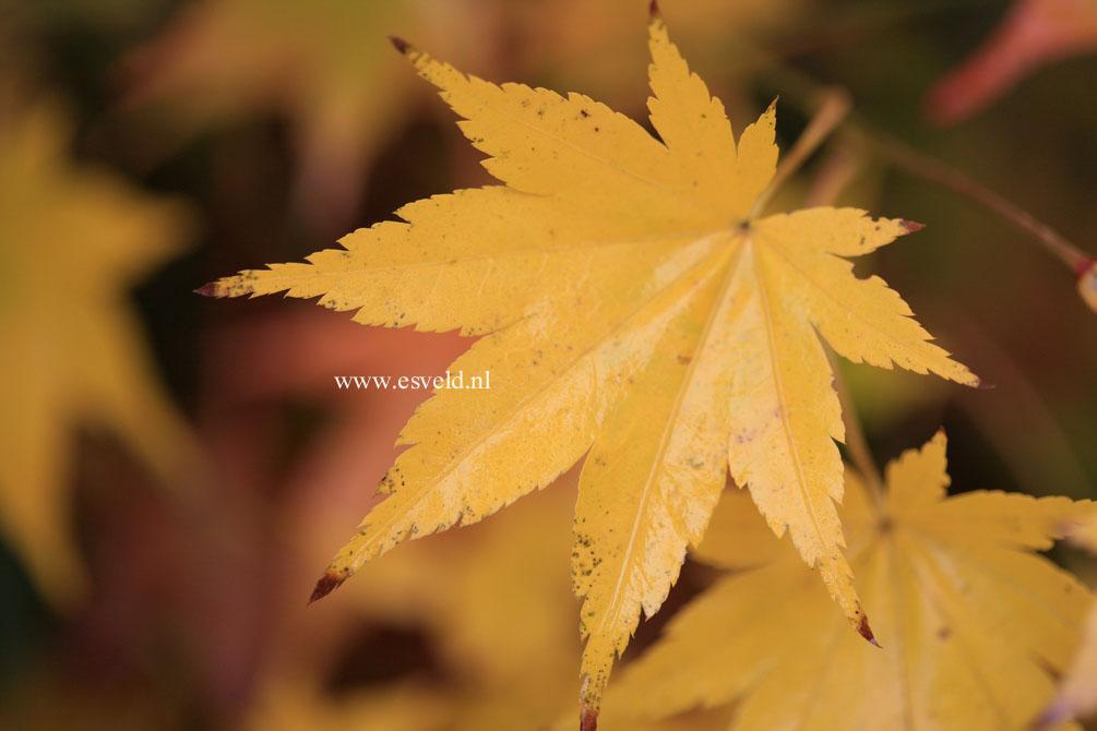 Acer palmatum 'Genshu yama'