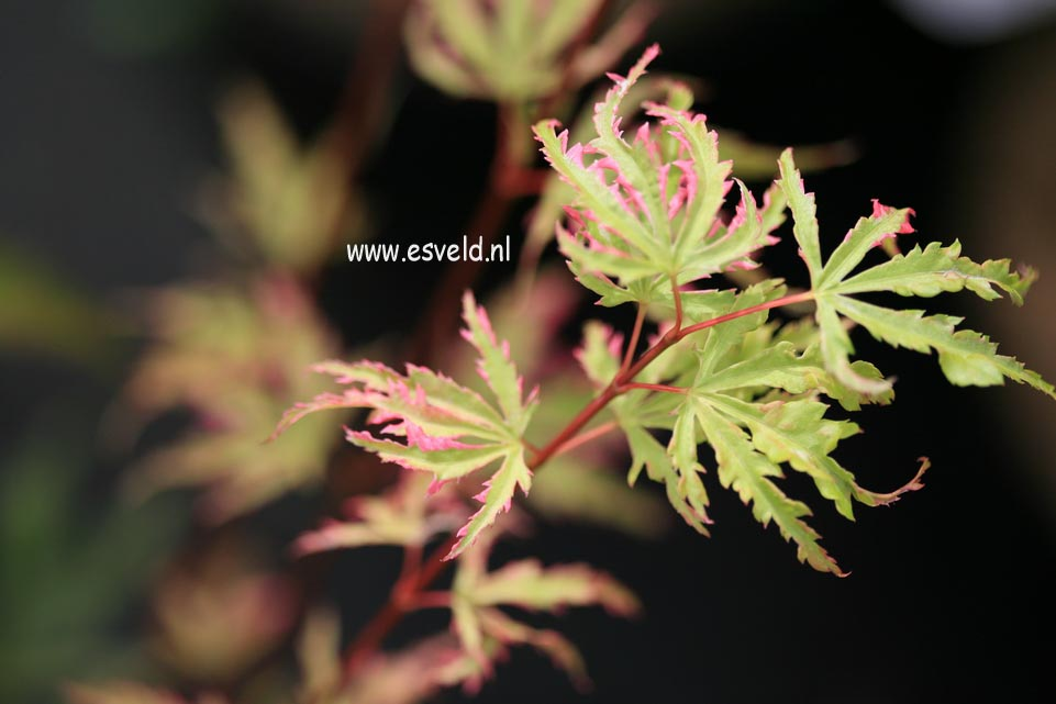 Acer palmatum 'Ginga'