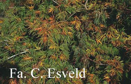 Acer palmatum 'Goshiki-shidare'