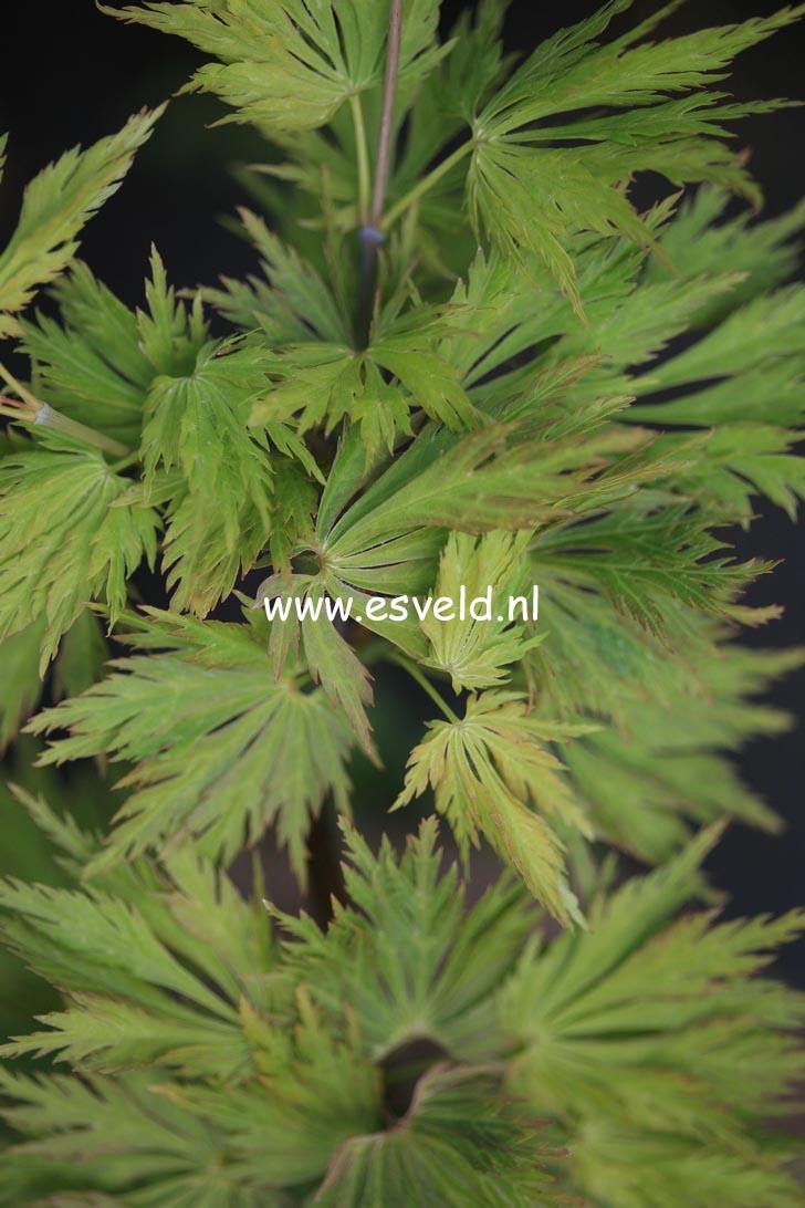 Acer palmatum 'Green Snowflake'