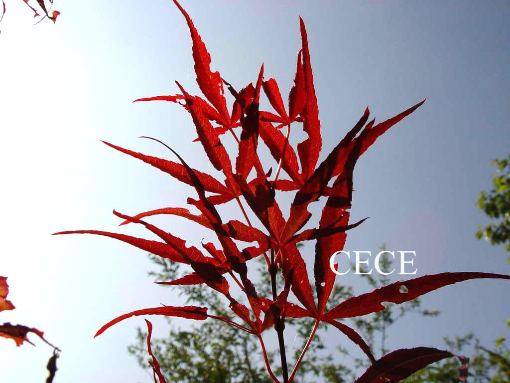 Acer palmatum 'Greenthumb North-Carolina Red'