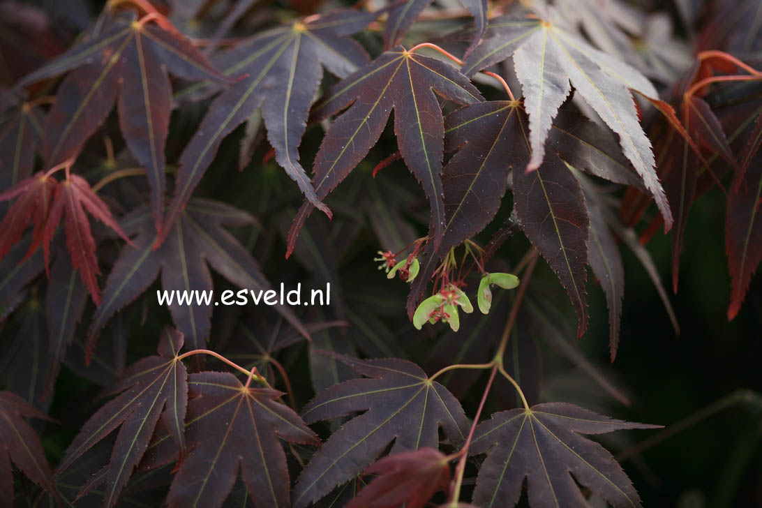 Acer palmatum 'Hama-otome'