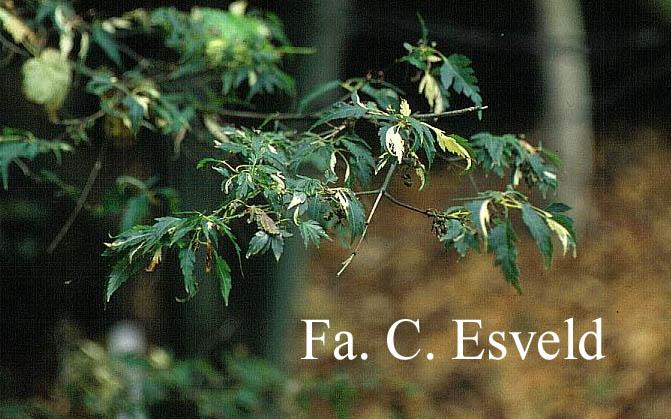 Acer palmatum 'Hazeroino'
