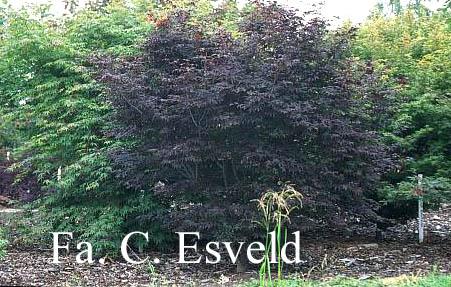 Acer palmatum 'Heptalobum Rubrum'
