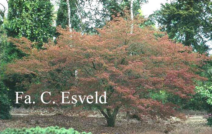 Acer palmatum 'Hessei'