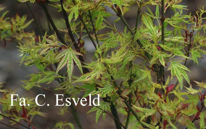Acer palmatum 'Higasa-yama'