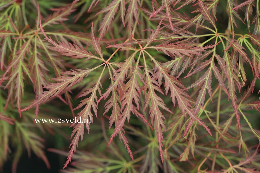Acer palmatum 'Irish Lace'