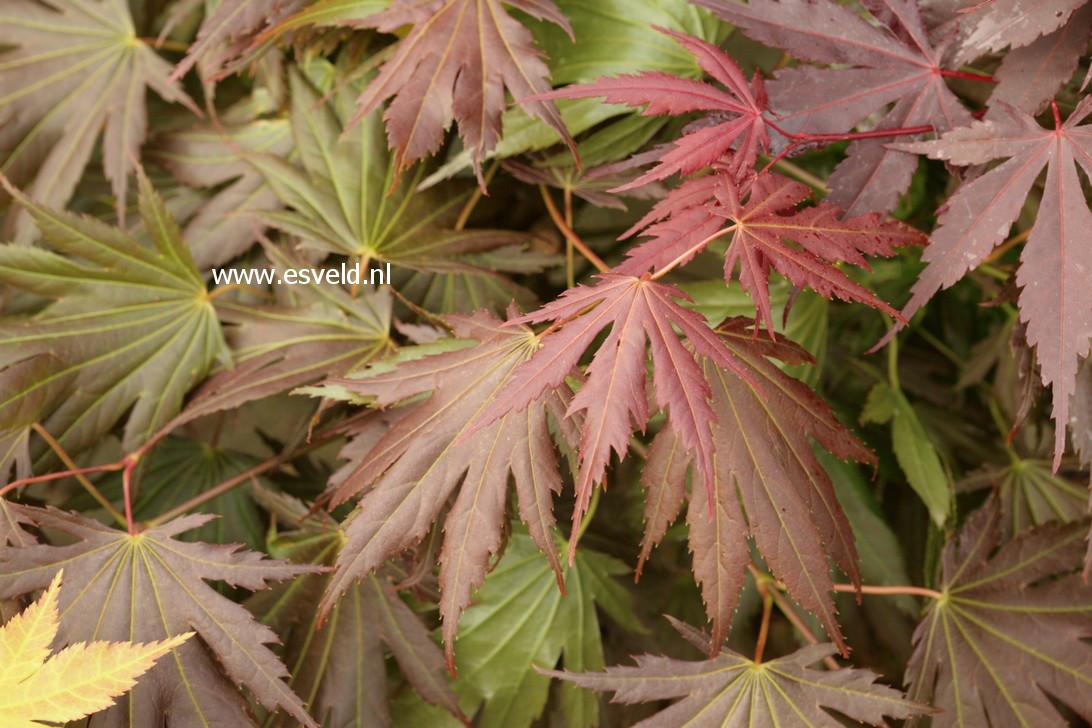 Acer palmatum 'Johin'