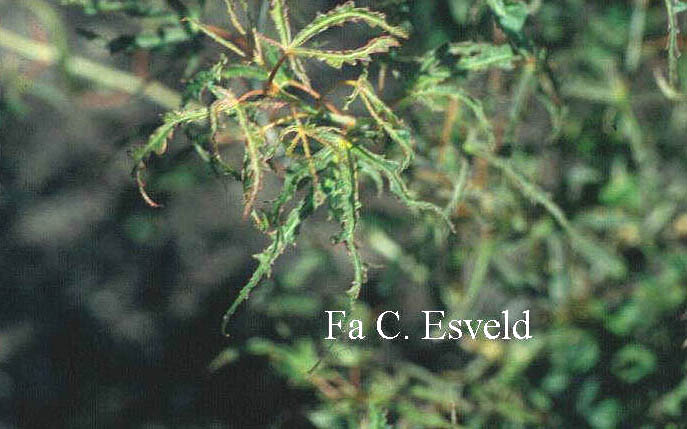 Acer palmatum 'Kaba'