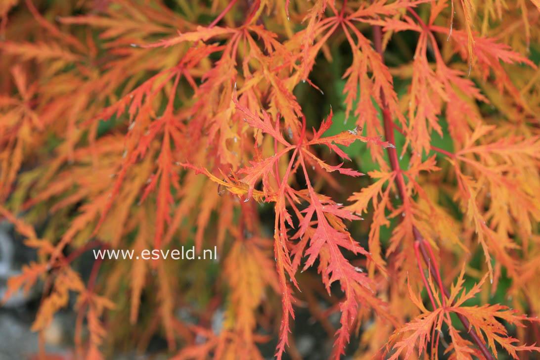 Acer palmatum 'Kaga-sudare'