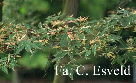 Acer palmatum 'Kara-ori-nishiki'