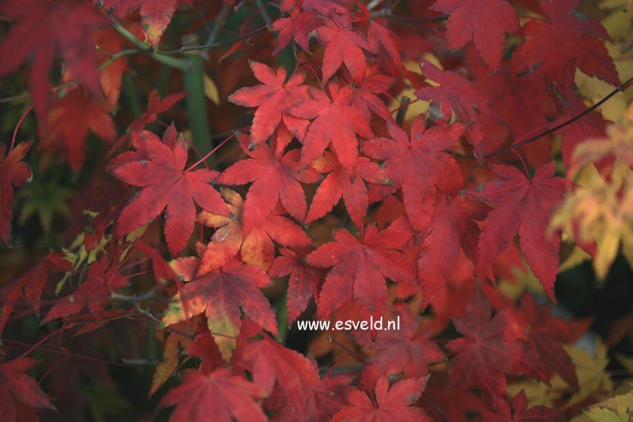 Acer palmatum 'Katja'