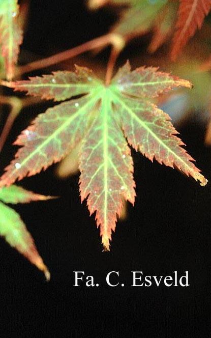 Acer palmatum 'Kegon'