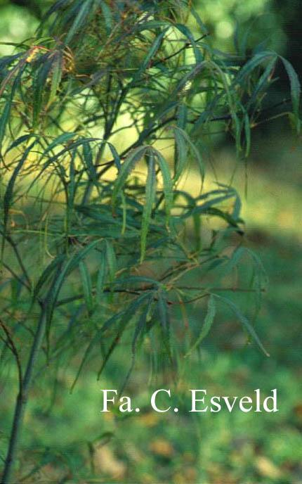 Acer palmatum 'Kinshi'