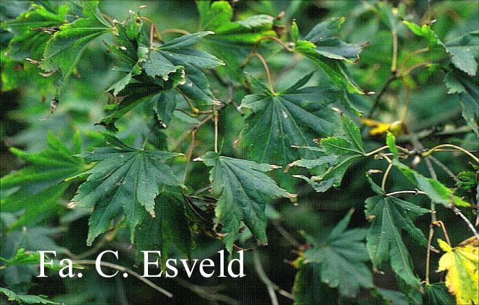 Acer palmatum 'Kiri-nishiki'