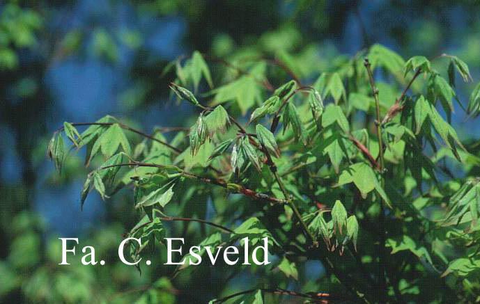 Acer palmatum 'Kogane-nishiki'