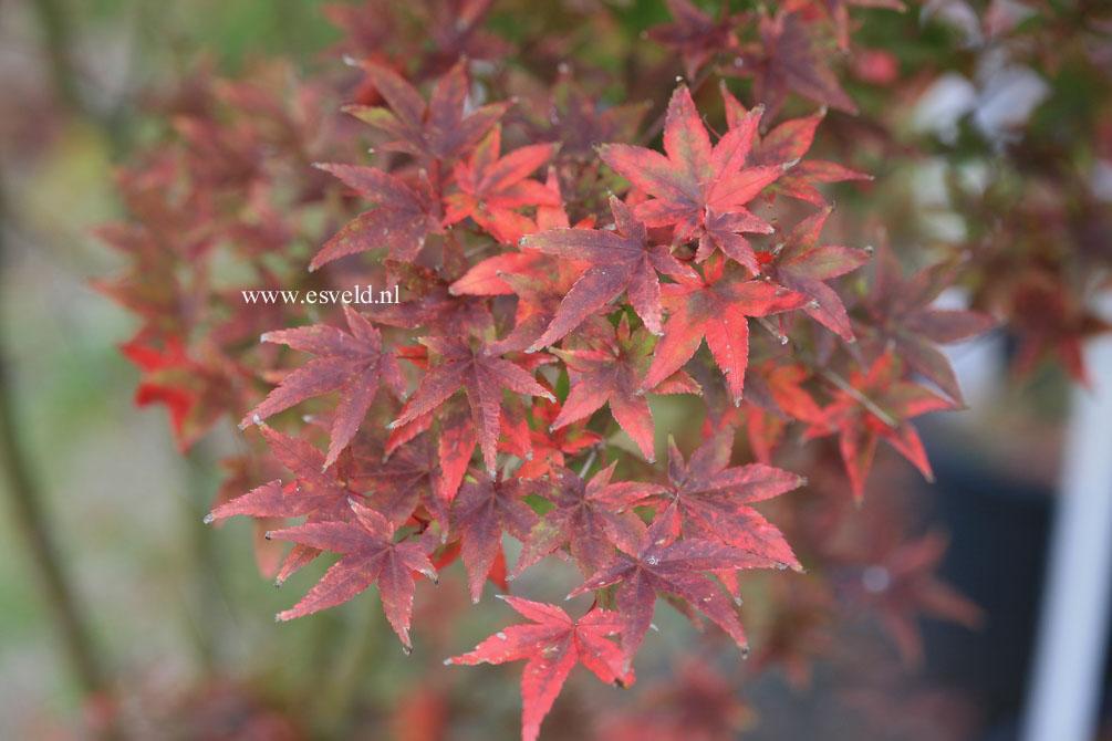 Acer palmatum 'Komon-nishiki'