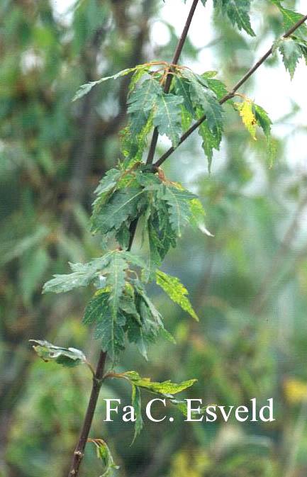 Acer palmatum 'Koshi-mino'