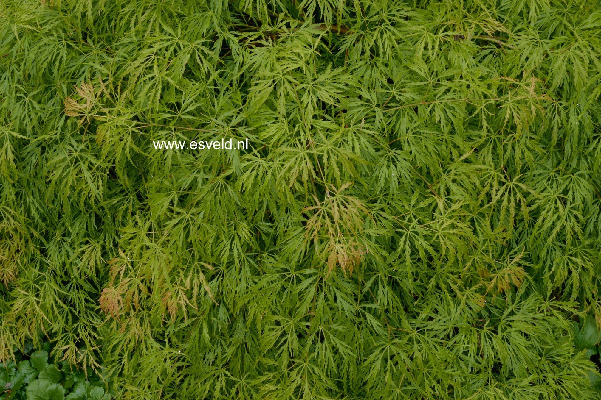 Acer palmatum 'Koyo-ao-shidare'