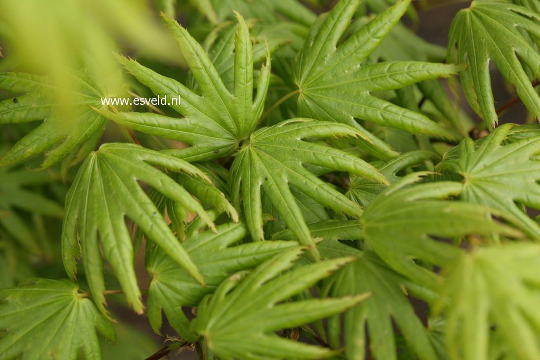 Acer palmatum 'Little Green Star'