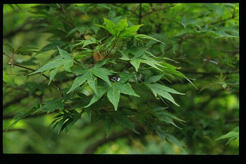 Acer palmatum 'Lutescens'
