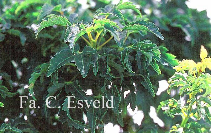 Acer palmatum 'Mei-jishi'