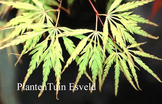 Acer palmatum 'Midori-no-teiboku'