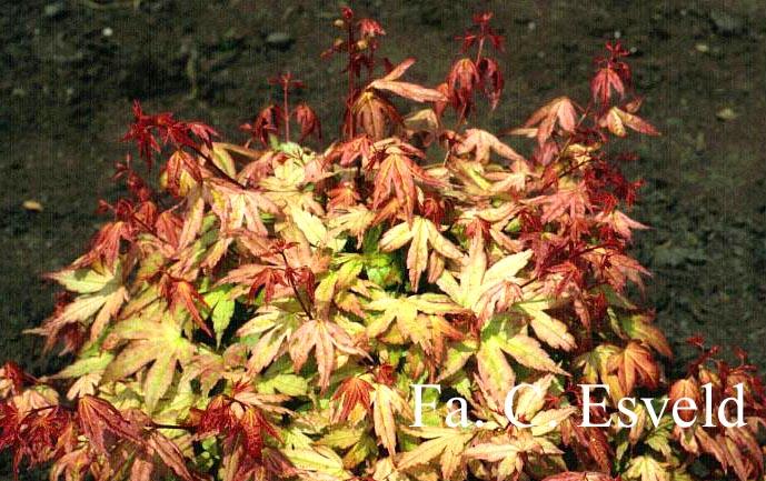 Acer palmatum 'Momoiro-koyasan'