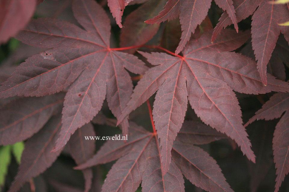 Acer palmatum 'Noto'