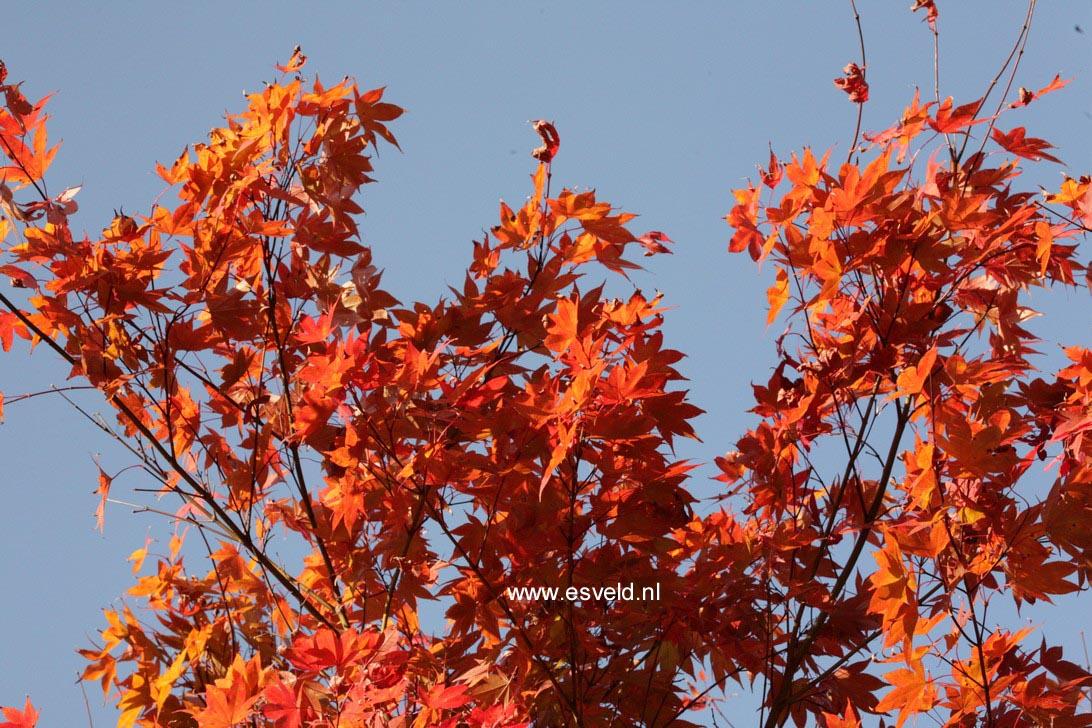 Acer palmatum 'Novum'