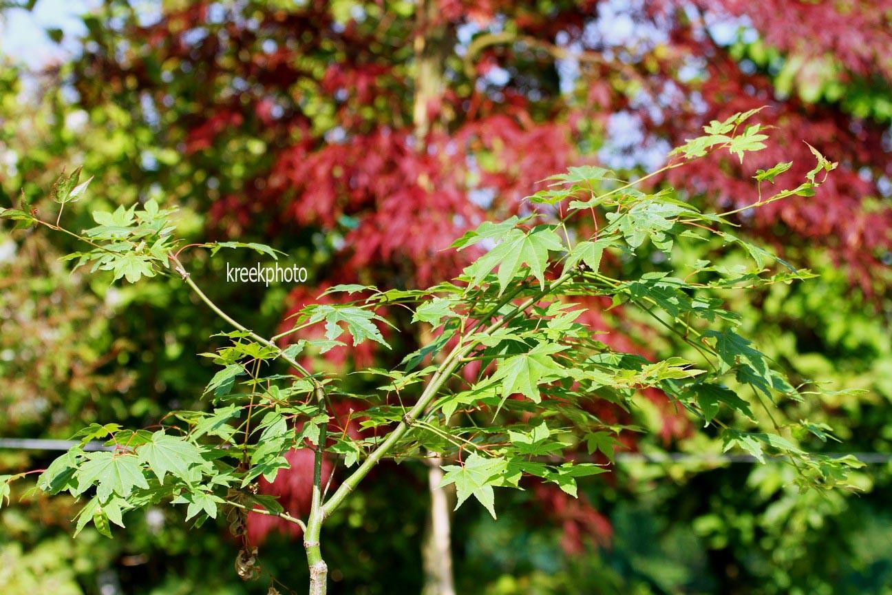 Acer palmatum 'Obata'