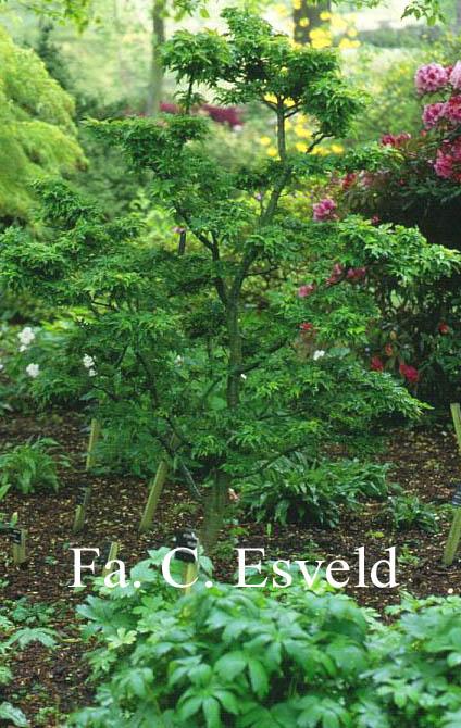 Acer palmatum 'Ōjishi'
