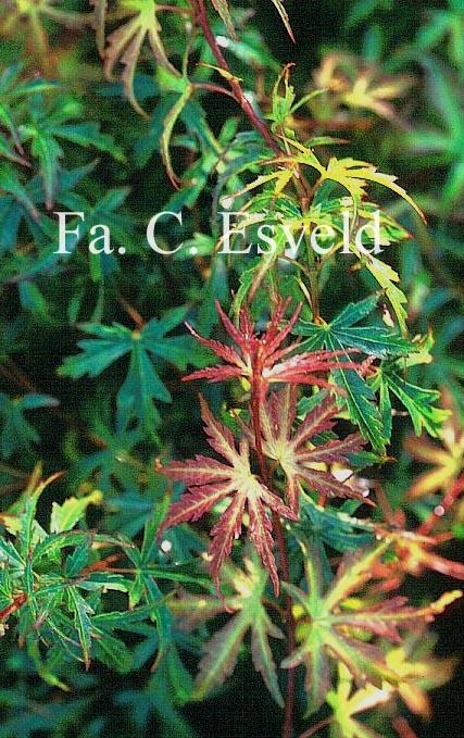 Acer palmatum 'Okina'