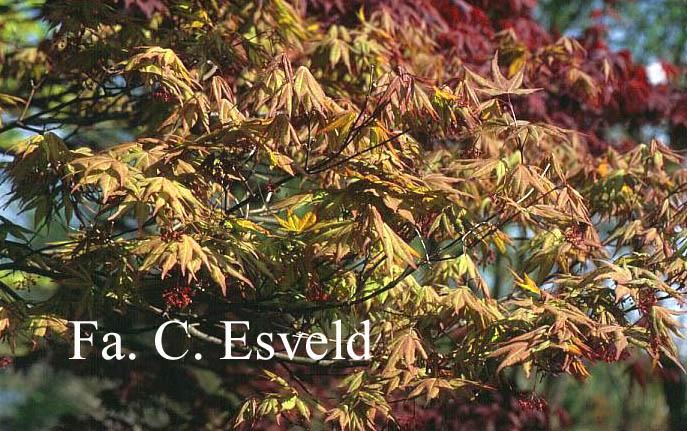 Acer palmatum 'Omato'
