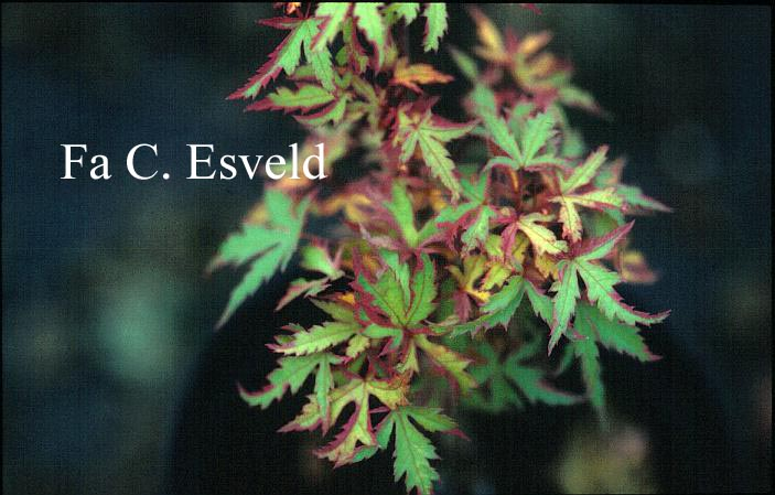 Acer palmatum 'Ori-zuru'