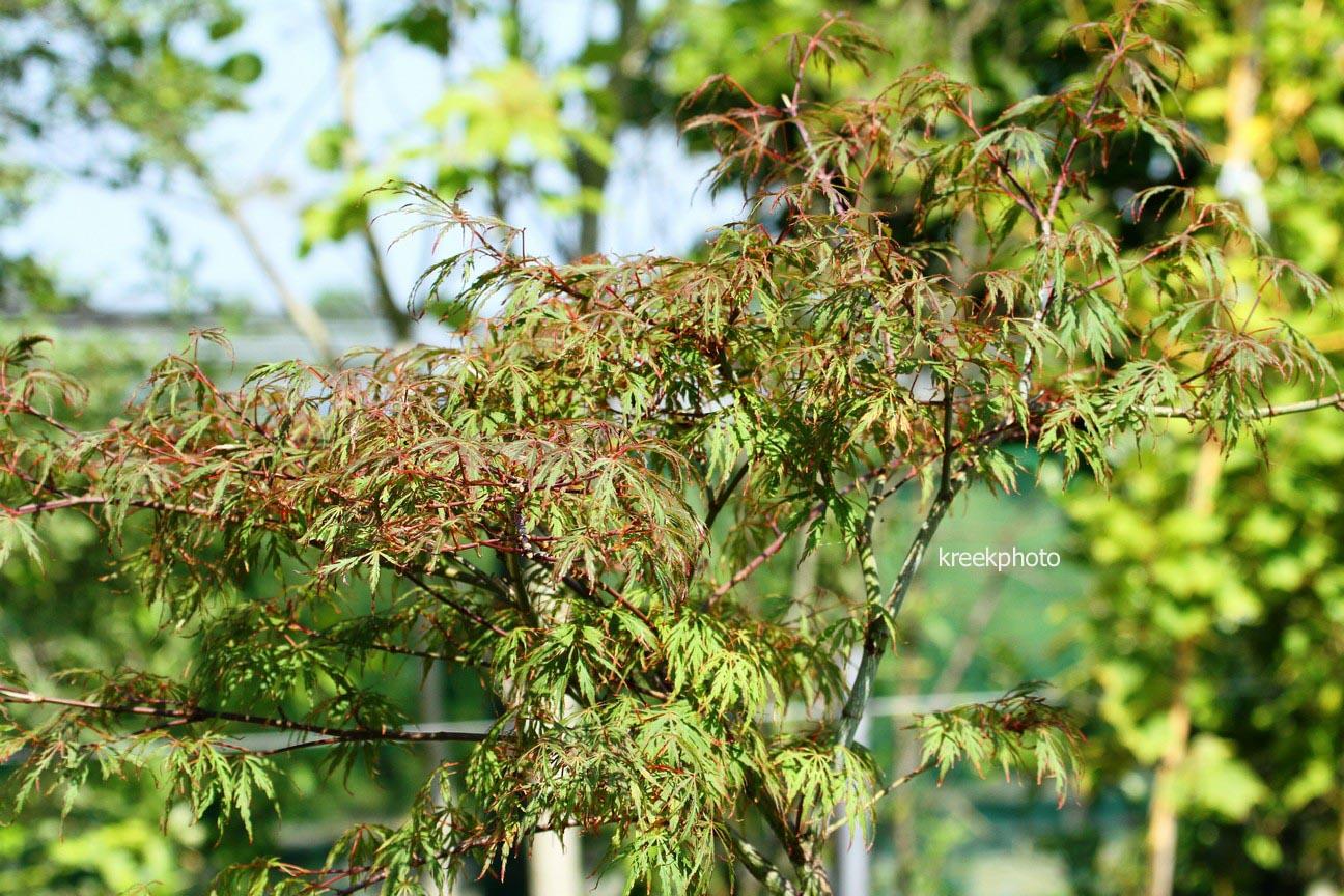 Acer palmatum 'Oriental Lace'